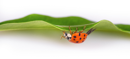 Red ladybug on a green leaf facing upside down. Harmonia axyridis. Beautiful close-up of a black spotted ladybird crawling on a natural green plant with white blurry background. Small depth of field. Imagens