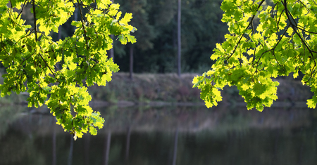 Two common oak branches in sunlight. Quercus robur. Lush green foliage in vivid backlight. Pond water surface, shore and mirroring of forest trees. Panoramic background. Sunny summer. Selective focus.