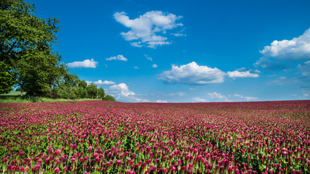 Field of blooming crimson clovers in spring scene. Italian clover. Trifolium incarnatum. Beautiful red trefoil. Idyllic view, green trees, horizon. Blue sky, white fluffy clouds. Full depth of field.