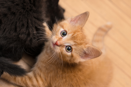 Sweet ginger and black kitty. Domestic cats 8 weeks old. Felis silvestris catus. Two tiny kittens playing on wooden floor. Curious tabby kitty looking up at camera. Little cheeky pet. Selective focus.