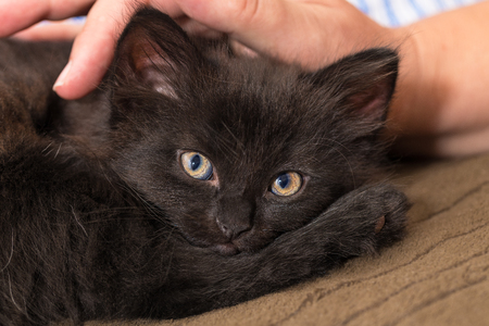 Cuddly black kitten and human hand. Domestic cat eight weeks old. Felis silvestris catus. Caress of a tiny innocent kitty lying in bed on brown blanket. Little furry pet. Eye contact. Cute young puss.