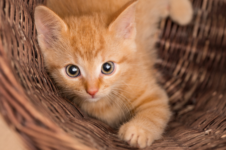 Lovely ginger kitten in wicker basket. Domestic cat eight weeks old. Felis silvestris catus. Small tabby kitty. Face close-up. Eye contact. Innocent little pet looking at camera. Small depth of field.