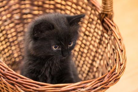 Adorable black kitten in a wicker basket. Domestic cat 8 weeks old. Felis silvestris catus. Close-up of a small innocent kitty with a stare. Little furry pet. Cute sitting young puss. Selective focus. Stock Photo