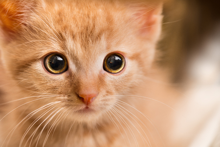 Ginger kitten portrait. Domestic cat 8 weeks old. Felis silvestris catus. Little tabby kitty face staring at camera. Close-up of a scared curious pet with sad eyes and pink nose. Small depth of field.