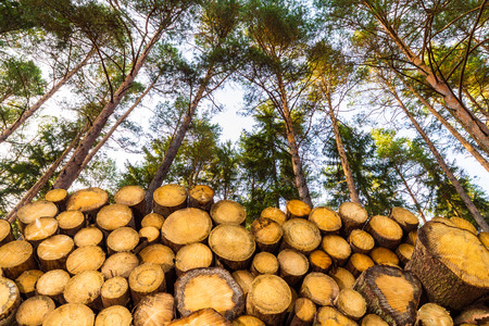 Stacked wooden logs under pine treetops and blue sky. Beautiful bottom view of raw wood tree trunks in sunny summer forest. Firewood close-up. Green tops of trees. Lumbering, forest industry and eco.