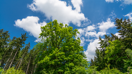 Fresh green treetop of oak in a spring forest or park. Quercus robur. Beautiful tree crowns under bright blue sky with white clouds. Natural background of lush vegetation in sunlight. View from below.