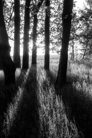 Spring scene with oak grove, dark trees, sunlight and shadows. Quercus robur. Black and white rural landscape. Forest, grass and field in a background. Playful sun beams shining through tree trunks.