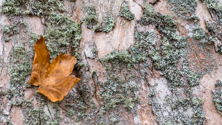 Close-up of maple bark texture with a fallen leaf. Acer. Beautiful natural background. Old faded deciduous tree trunk with dry green moss. Abstract detail of cracked wood in realistic autumn colors.
