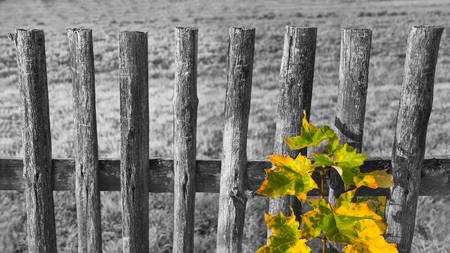 Old black and white fence and colored leaves on common maple branch. Acer. Melancholy landscape with vintage wood railings. Yellow-green autumn leaf. Nostalgic rural retro background. Selective focus. Stock Photo