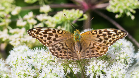 Silver-washed fritillary on Ground elder flower. Argynnis paphia. Aaegopodium podagraria. Form valesina. Butterfly close-up. Open wings. Bishops weed bloom. Natural background. Selective focus.
