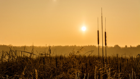 Broadleaf cattail silhouette at sunrise over a pond. Typha latifolia. Reed or water sausage. Rising sun in a golden landscape. Artistic scene. Rural swamp, forest and misty sky. South Bohemia, Europe.