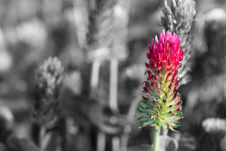 Crimson clover close-up on black and white blurred background. Trifolium incarnatum. Beautiful spring flower head of red trefoil in a melancholy field. Exceptional pink-green bloom. Selective focus.