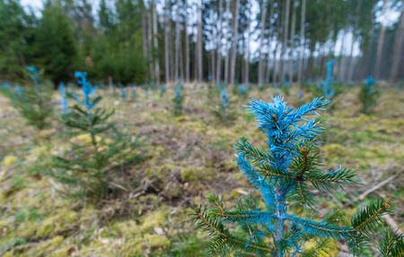 Forest restoration. Young pines detail. Pinus. Blue painted needles. Small coniferous trees. Reforested area. New growth. Green conifers. Blurry background. Forestry, eco protection. Selective focus. Reklamní fotografie