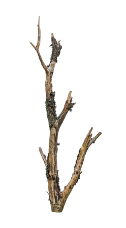 Dry bare tree branch. Dead stub covered by green lichen. Isolated on white background. Pointed old wood torso. Impressive weathered mossy limb stripped of bark. One faded driftwood in detail. Ecology. Stock Photo