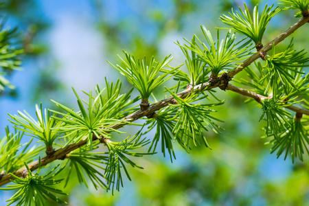 European larch branch. Spring foliage detail. Larix decidua. Light green needle-like leaves. Evergreen deciduous conifer. Playful leaf clusters. Young ornamental tree. Sunny blue sky. Selective focus.