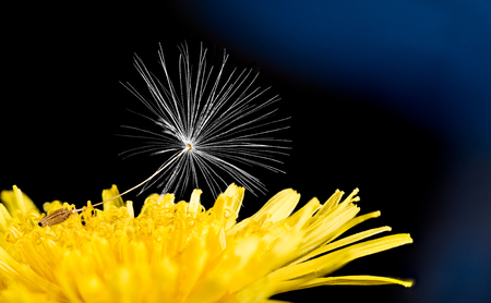 Single dandelion seed. Yellow flower head detail. Taraxacum officinale. Bright spring bloom and fragile white fluff. Dark night background. Wild herb, ecosystem. New life, hope concept or condolences.
