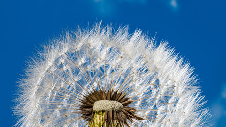 White blowball detail. Fluffy dandelion seeds against blue sky. Taraxacum officinale. Fragile half sphere close-up and spring sunny heaven. Wild herb ball with feathery fluffs. New life, hope concept.