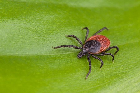Deer tick detail. Ixodes ricinus. Arachnid on green background. Disgusting hairy parasite closeup on natural leaf texture. Carrier of encephalitis, Lyme borreliosis or babesiosis infections. Top view. Stock Photo
