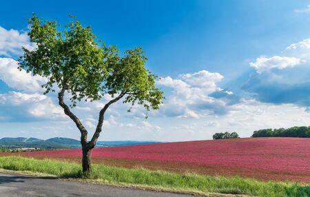 Flowering crimson clover field. Alone cherry tree. Trifolium incarnatum. Prunus avium. Romantic spring landscape. Beautiful red trefoil in scenic nature. Forest and mountain on horizon, blue sky. Eco. 免版税图像