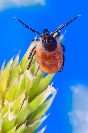 Questing female deer tick. Mite detail on grass spikelet. Ixodes ricinus. Acari. Dangerous parasitic insect crawling on spring green plant with blue sky background. Carrier of encephalitis infection.