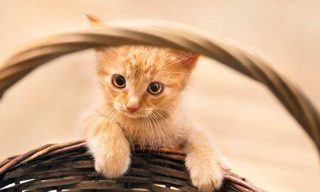 Cute sweet ginger tabby kitty with paws on wicker basket detail. Domestic cat. Felis silvestris catus. Portrait of little pet 8 weeks old. Friendly small kitten with melancholy serious look at camera.