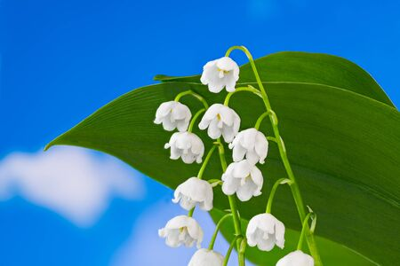 Beautiful white May bells blooms with green leaves detail. Convallaria majalis. Flowering romantic lily of the valley on blue sky background. Bottom view on scented wild herb. Spring poisonous flower.