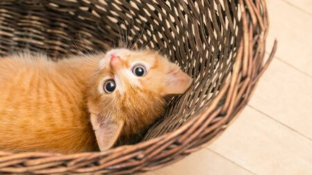 Sweet curious ginger tabby kitten lying in a wicker basket. Domestic cat. Felis silvestris catus. Interesting funny small kitty 8 weeks old. Face closeup of little timid feline pet looking at camera.