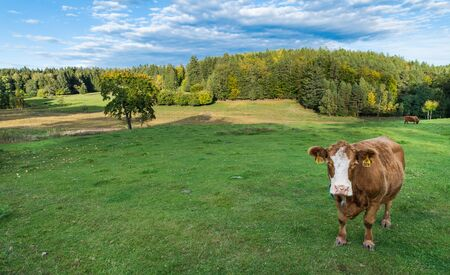 Cute brown cow with white pied head on a green grassland. Bos taurus or primigenius. Rural autumn landscape with beef cattle of Holstein Friesians breed. Forest under blue sky and copy space on grass.
