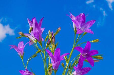 Flowering spreading bellflower detail. Campanula patula. Wild meadow herb on blue sky background. Close-up of beautiful sunlit purple flowers and buds in bell shape. Pink wildflower in spring weather. Stok Fotoğraf