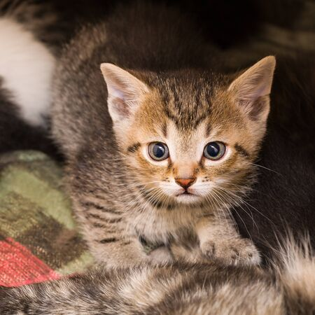 Curious anxious brown tabby kitten portrait. Young domestic cat closeup. Felis silvestris catus. Cute little wide eyed kitty with black round pupils. Small afraid pet looking at camera in shelter bed. Stok Fotoğraf
