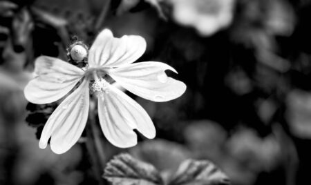 Romantic cranesbill flower and bud with water drops. Black and white nature detail. Geranium. Wet dewy delicate bloom and blurry leaves on dark dramatic background. Mourning and hope. Selective focus.