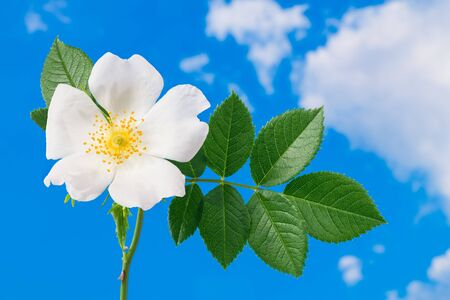 Romantic wild rose flower head detail on blue sky background. Rosa canina. Close-up of beautiful thorny briar twig with green leaves, a delicate white bloom and yellow stamens in sunny spring weather.