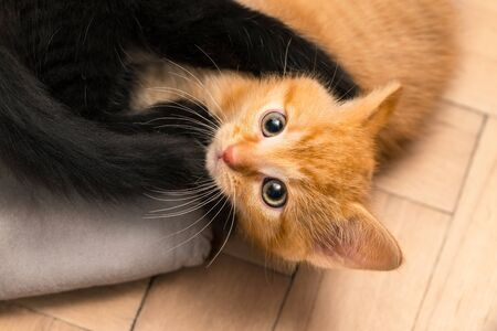 Two cute small kittens playing on floor. Domestic cats 8 weeks old. Felis silvestris catus. Happy ginger and black kitty in fight on wood parquets. Curious tabby kit looking up at camera. Little pets.