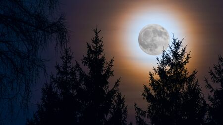 Round shining full moon. Orange moonlight on dark night sky. Moonrise over a forest with spruce tree tops silhouettes at evening dusk. Scenic skyline in twilight. Illuminated natural view in darkness. Stok Fotoğraf