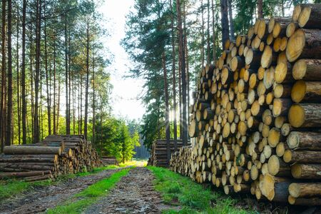 Stacked felled wood logs. Forest road with summer sun on sky. Sawn timber piles in sunlit rural scene. Sunbeams shining through spruce trees. Forestry logging. Eco bark beetle calamity. Deforestation.