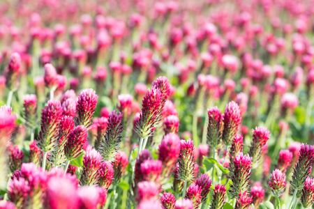 Flowering crimson clover. Pink blooms in beautiful spring field. Trifolium incarnatum. Romantic flower background of blurred red trefoil with bokeh. Close-up of idyllic herb blooms in rural farm land. Stock Photo