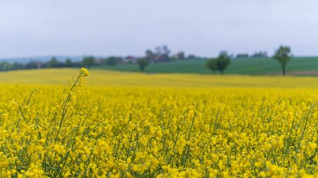 Yellow flowering oilseed rape field in rainy spring landscape. Brassica napus. Close-up of wet golden rapeseed blooms with cloudy blue sky, green trees and farm land on blurred rural background. Eco.