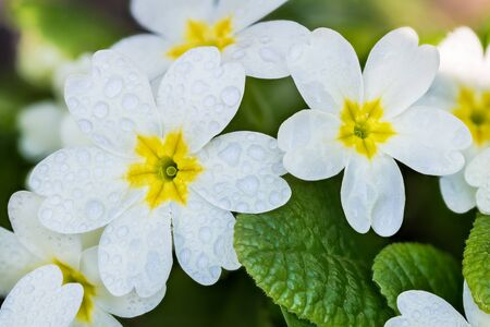 Wet white cowslip primrose flower heads group with yellow core and green leaves. Primula veris. Flowering perennial herb with water drops on close-up of fresh blooms in spring rainy weather. Top view. Stock Photo
