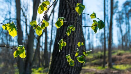 Sunlit green leaves of a common hazel branch in spring forest. Corylus avellana. Beautiful illuminated vivid lush foliage with playful shadows. Tree trunks and blue sky in background. Selective focus.