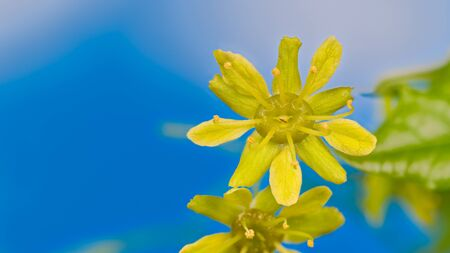 Closeup of yellow maple flower on azure blue sky background with copy space. Acer. Tender blooms with detail of petals and stamens on branch of blossoming tree in early spring nature. Selective focus.