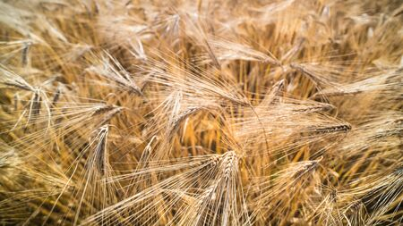 Close-up of ripe barley field. Hordeum vulgare. Summer rural farming background. Organic cereal crop with golden spikes, dry grains and long awns. Agricultural cornfield texture. Harvesting, agronomy.