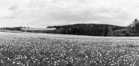 Common dandelion blowballs in panoramic rural landscape. Taraxacum officinale. Black and white natural panorama with fragile seed heads of dandelions in spring meadow. Hodusin, South Bohemia, Czechia.