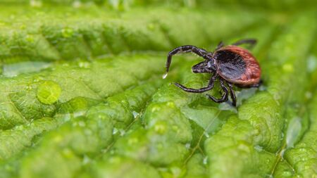 Castor bean tick on wet green leaf with water drops. Ixodes ricinus. Movement of a parasitic mite in raindrops. Transmit of tick-borne diseases as Lyme borreliosis or encephalitis. Health protection.