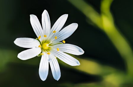 Sunlit bloom of greater or lesser stitchwort. Stellaria graminea or holostea. Closeup of spring flower head with white petals and yellow stamens. Natural wild herb on dark background. Selective focus.