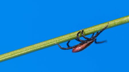 Deer tick crawling upside down at grass blade on blue sky background. Ixodes ricinus. Danger in nature. Closeup of infectious parasitic mite on green plant stem. Encephalitis, Lyme disease. Side view. Zdjęcie Seryjne