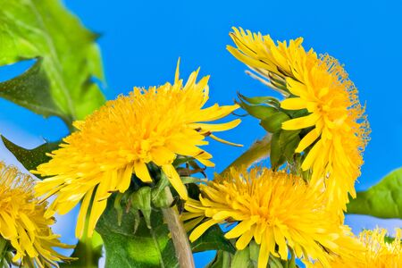 Closeup of yellow dandelion flower heads on azure blue sky background. Taraxacum officinale. Realistic detail of vivid spring blooms and green leaves. Wild meadow herb. Healthy natural leaf vegetable.