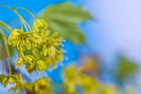 Closeup of flowering maple tree with blue sky background. Acer. Bright natural scene. Cluster of yellow blooms on blossoming tree branch detail with green leaves. Early spring nature. Selective focus.