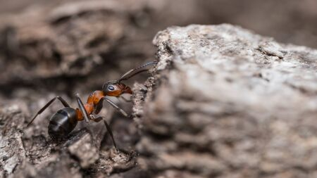 Close-up of red wood ant worker profile on tree bark. Formica rufa. Side view of crawling biting forest bug with formic acid for defence. Beneficial social insect used in forestry as pest management.