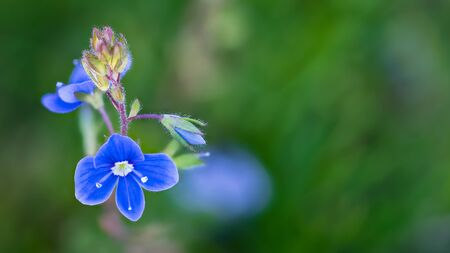Closeup of blue germander speedwell flower on blurred green background. Veronica chamaedrys. Delicate small bloom and bud of bird's eye or cat's eyes herb in melancholy scene. Selective focus.