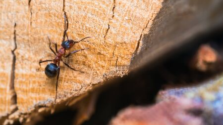Red wood ant worker crawling on wooden cut surface with cracks. Formica rufa. One biting vermin on sawn log detail. Close-up of beneficial social insect used in forestry as pest management. Top view.